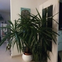 Große Yucca Palme  2