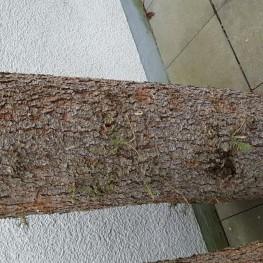 Baumstamm Fichte als Deko oder Brennholz
