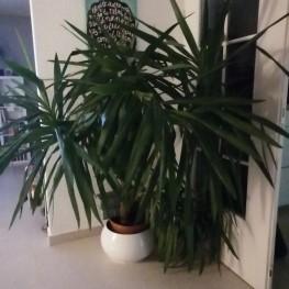 Große Yucca Palme